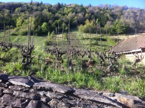 vines at bellu